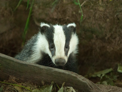 Badger Trust condemns Government spin on badger licences as cull set to start once more