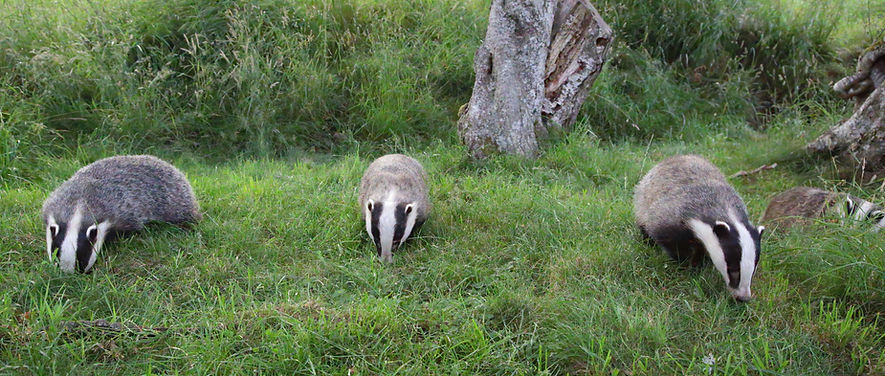 3 badgers snuffle the grass - Mating in European Badgers - © Paul Saunde