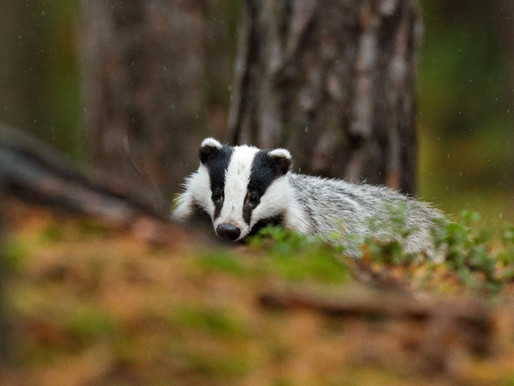 Badger Trust calls for Government to urgently act on cattle-to-cattle transmission of bTB