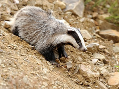 photodune-10719528-badger-near-its-burro