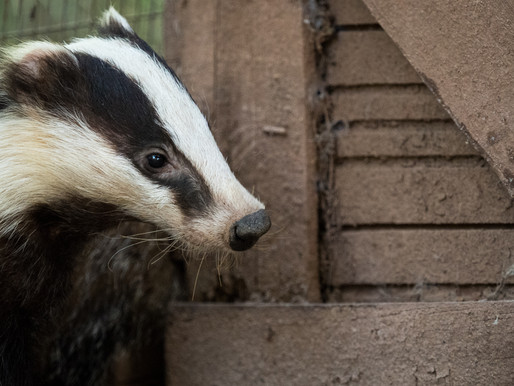 Badger Trust urges extreme caution over Government's 'mixed messages' cull statement
