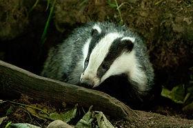 Image of badger © Dod Morrison