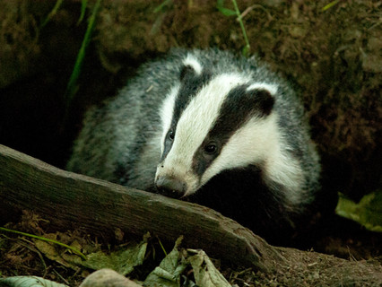Badger Trust calls on Northern Ireland Executive not to introduce 'English-style' mass badger cull