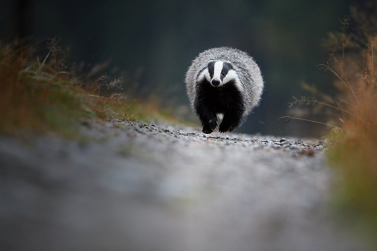 Bt running badger 2 AdobeStock_178687427