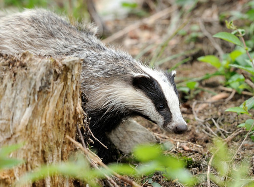 Labour Opposition gives support to Badger Trust Bern Convention complaint