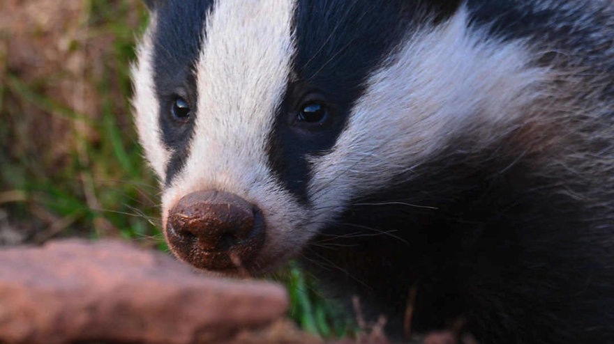 Can the Badger Cull - how you can help