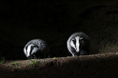 BT two badgers coming towards camera at night AdobeStock_65237929.jpeg