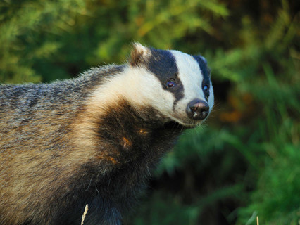 Badger Trust gives cautious welcome to cattle vaccine and testing field trials in fight against bTB