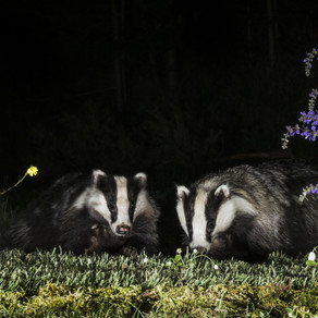 Badger Trust condemns the largest destruction of a protected species in living memory