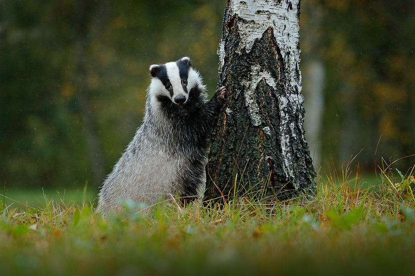 BT%20badger%20with%20paw%20on%20tree%20l