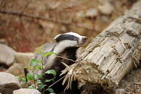 Badger unhappy about Defra's badger cull challenge response