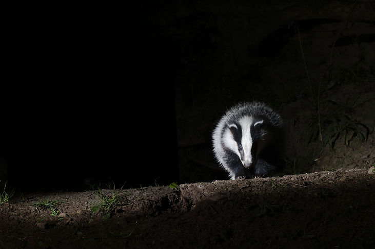 Can the Cull 1 badger version BT two bad
