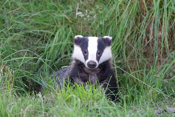 Expectant badger in the long grass - Mating in European Badgers - © Paul Saunde