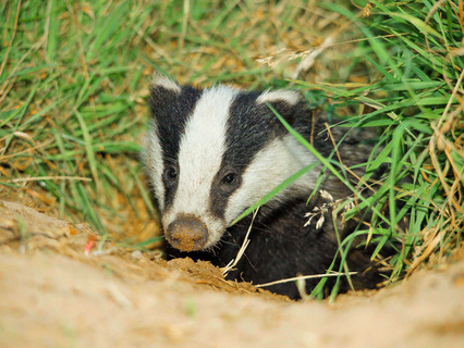 Government's 'Action Plan for Animal Welfare' fails to factor in badgers