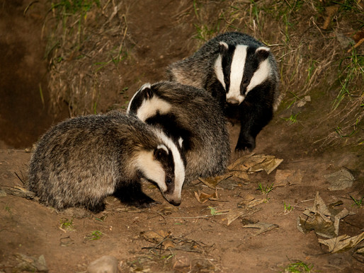 Badger Trust calls on the badger community to 'Stand up for Badgers' in Govt bTB Call for Views