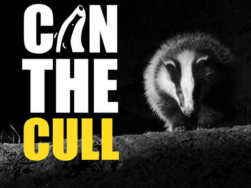 Badger Trust responds to Government consultation with call to stop slaughtering badgers immediately