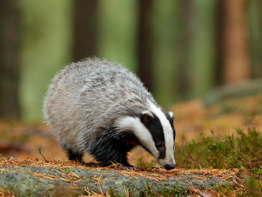 Government goes from badger control to badger annihilation