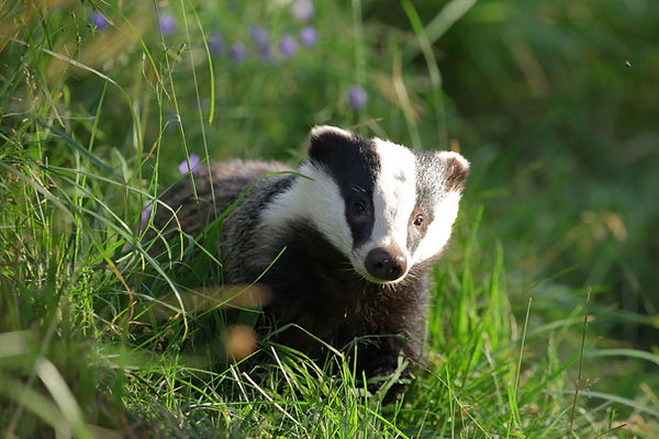 Mating in European Badgers - Paul Saunde