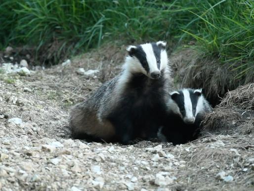 Badger Trust fights back against badger crime with hard-hitting film