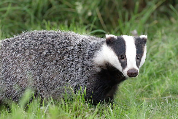 Badger waits pensively in the grass - Mating in European Badgers - © Paul Saunde