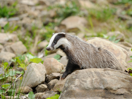Badger Trust remains unconvinced that bTB policy consultation gives any reprieve to badgers