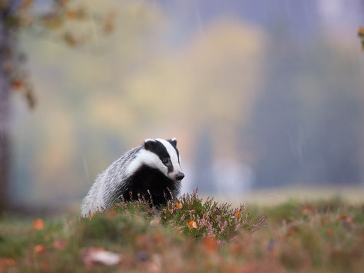 Badgers not a key source of bovine TB latest released study shows