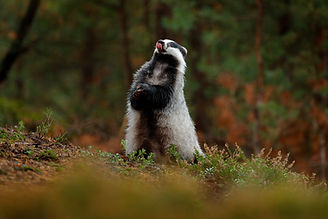 BT standing badger with tongue out AdobeStock_193279632.jpeg
