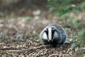 Badger © Hans Veth