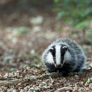 Challenge to badger cull due as Bern Convention Bureau considers alleged breach case