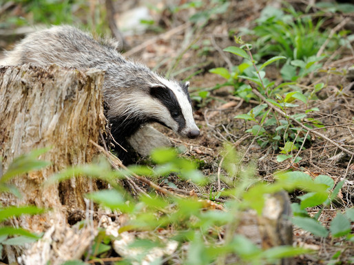 The Badger Trust today announced that Dominic Dyer is stepping down after almost seven years as CEO