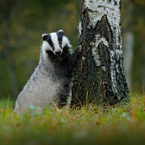 National Badger Day