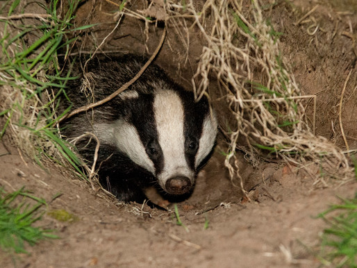 Warning to public as start of 2021 badger cull season brings shooters into countryside