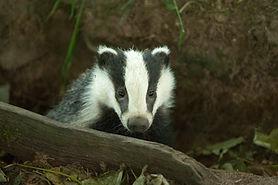 Badger ©Dod Morrison