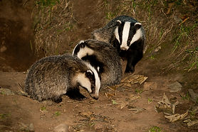 Three Muchalls badgers at play   © Dod Morrison