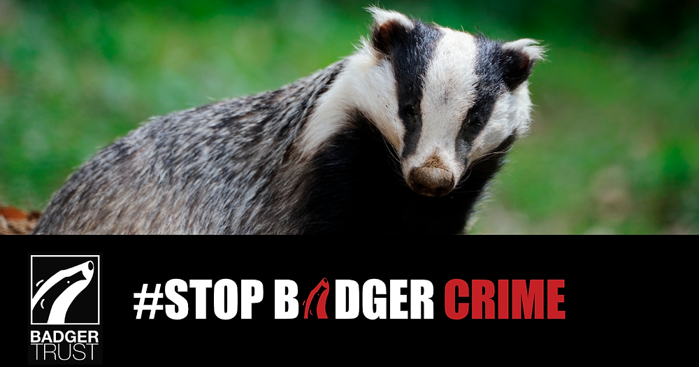 Badger looking pensive - Stop Badger Crime