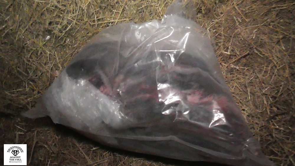 Slaughtered badger in a plastic bag ©Derbyshire Against The Cull