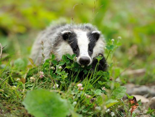 Badger Trust calls on badger lovers to urgently speak up for badgers