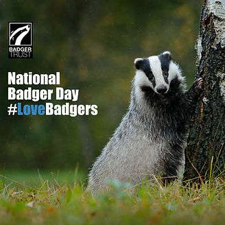 Badger climbing base of tree - National Badger Day