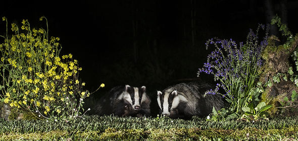 BT two badgers among flowers AdobeStock_