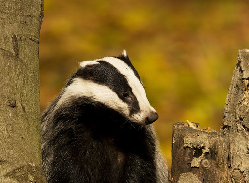 Save badgers from controlled shooting – sign the Wild Justice petition