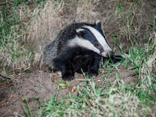 Badger Trust responds to concerns over HS2 badger sett activity