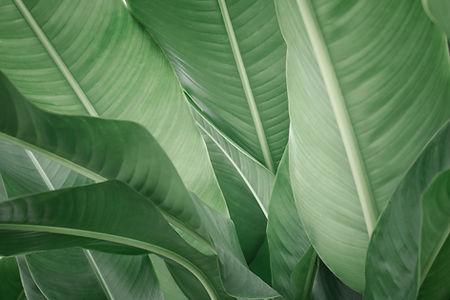 Bananenblätter