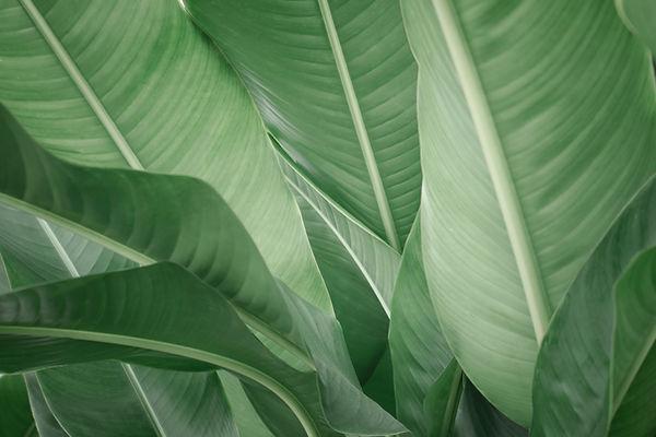 Banana Leaves