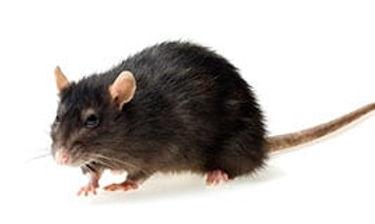 norway-rat.jpg