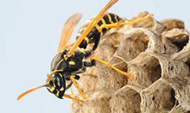 paper-wasp1.jpg