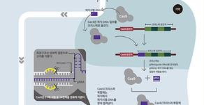 유전자 조작의 혁신, 크리스퍼(CRISPR)