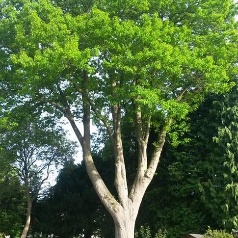 Taille d'éclaircie sur un chêne rouge