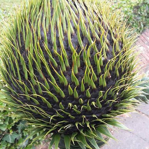 fruit d'un Araucaria