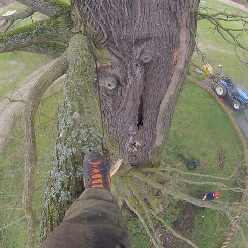 taille sanitaire sur un chêne pédonculé. Cet arbre aurait 250ans