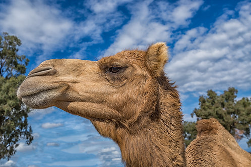 Summer Land Camel Farm Greeting Card